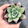 Echeveria agavoides 'Blue moon'
