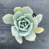 Echeveria 'Blue Cloud'
