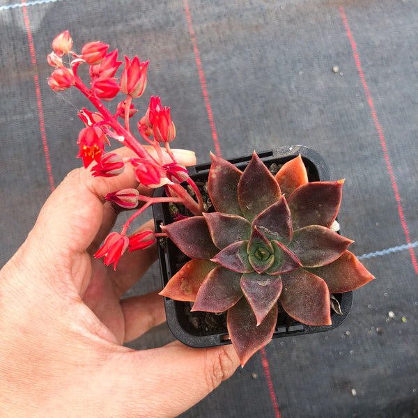 Echeveria 'Alfred Graf' (has mark)