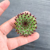 [WHOLESALE PACK OF 20] Sempervivum calcareum 'Extra'