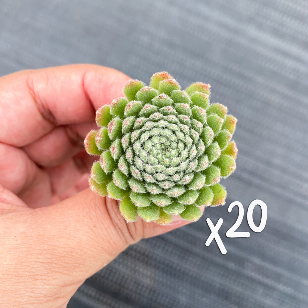 [WHOLESALE PACK OF 20] Sempervivum 'Hairy Ball'