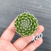 [WHOLESALE PACK OF 20] Sempervivum 'Ashes of Roses'
