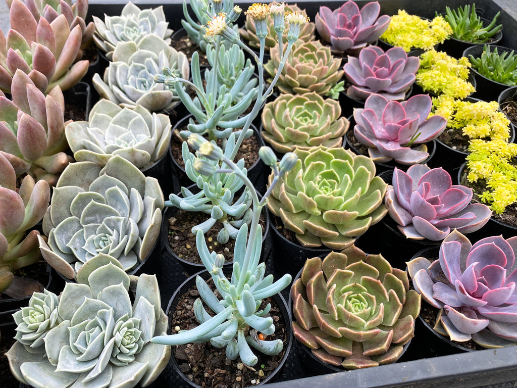 WHOLESALE] 5 PLANTS x 7 VARIETIES = 35 PLANTS [ PACK 5 ] – LET LOVE GROW (Succulent & Cactus)