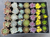 [WHOLESALE] 5 PLANTS x 7 VARIETIES = 35 PLANTS [ PACK 5 ]
