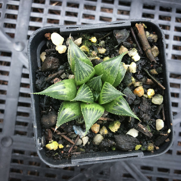 haworthia emelyae var. major