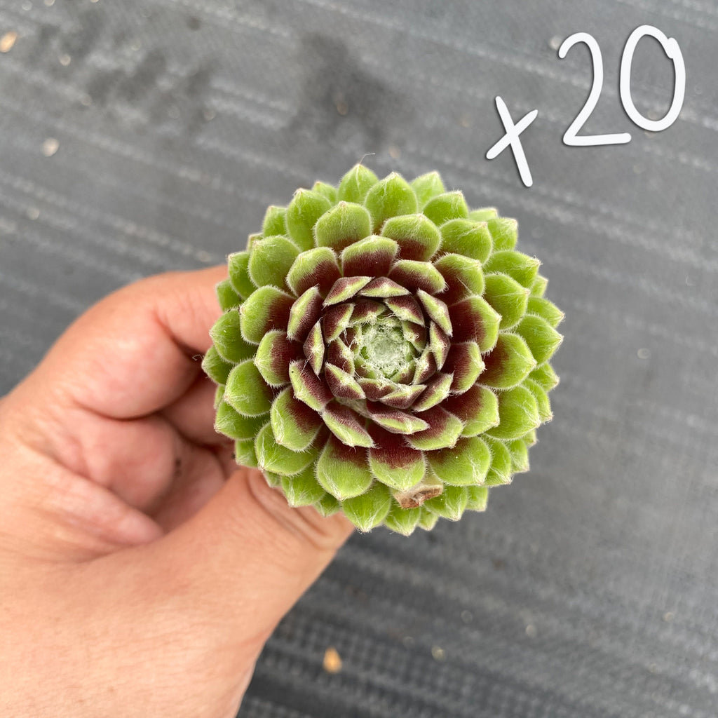 [WHOLESALE PACK OF 20] Sempervivum 'Tiny Tots'