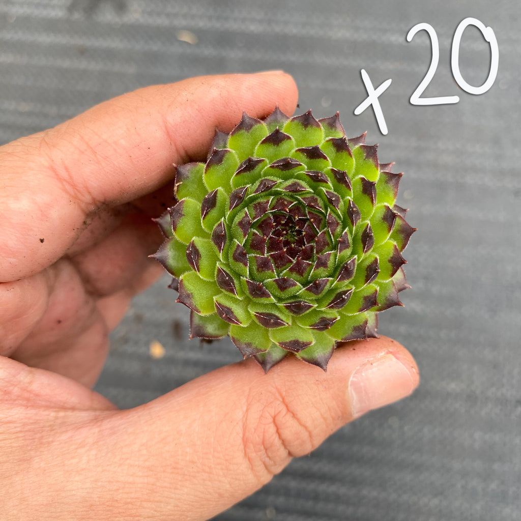 [WHOLESALE PACK OF 20] Sempervivum cantabricum 'Reinhardt'