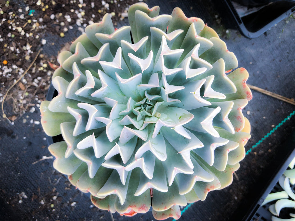 Echeveria pinwheel 'Revolution' (S)(SALE NIGHT)