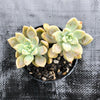 Graptoveria paraguayense subs. Bernalense (2H)(has mark)(SALE NIGHT)