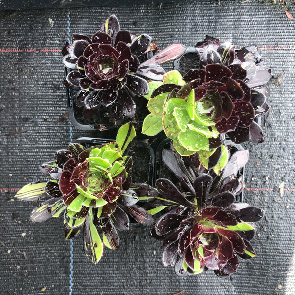 Aeonium 'Big Bang' (S)(PLANT)