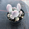 Pachyphytum glutinicaule (has mark)
