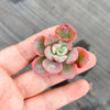 Echeveria 'Raindrops' (1 x CUTTING)(LOT OF MARKS)