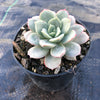 Echeveria 'Subcorymbosa Lau 026'  (has mark)