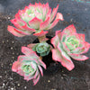 Echeveria 'Toffee Apple'