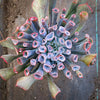 Echeveria Trumpet Pinky (Rare)(Limited stock only)