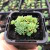 Sedum hispanicum 'Blue carpet' (CUTTINGS)