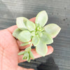 Graptopetalum Daruma Shu-rei (1 x CUTTING)