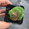 Sempervivum 'Pacific Red Rose' CREST