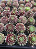 Sempervivum 'Tiny Tots' (P/C)