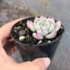 Echeveria 'Chihuahuensis' (XS) (SALE NIGHT)