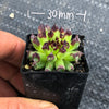 Sempervivum 'Oddity' (P/C)