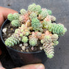 Sedum dasyphyllum 'Major' (SALE NIGHT)