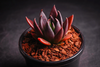 Echeveria 'Black knight