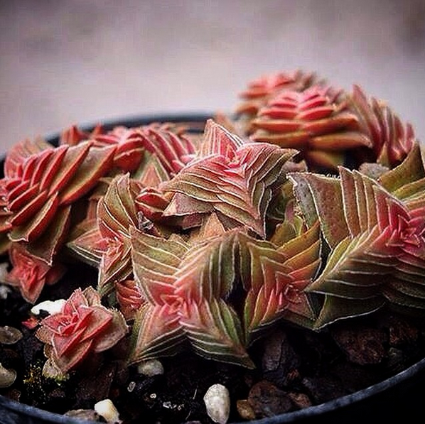 Crassula capitella ssp. thyrsiflora (The Pyramid Plant)