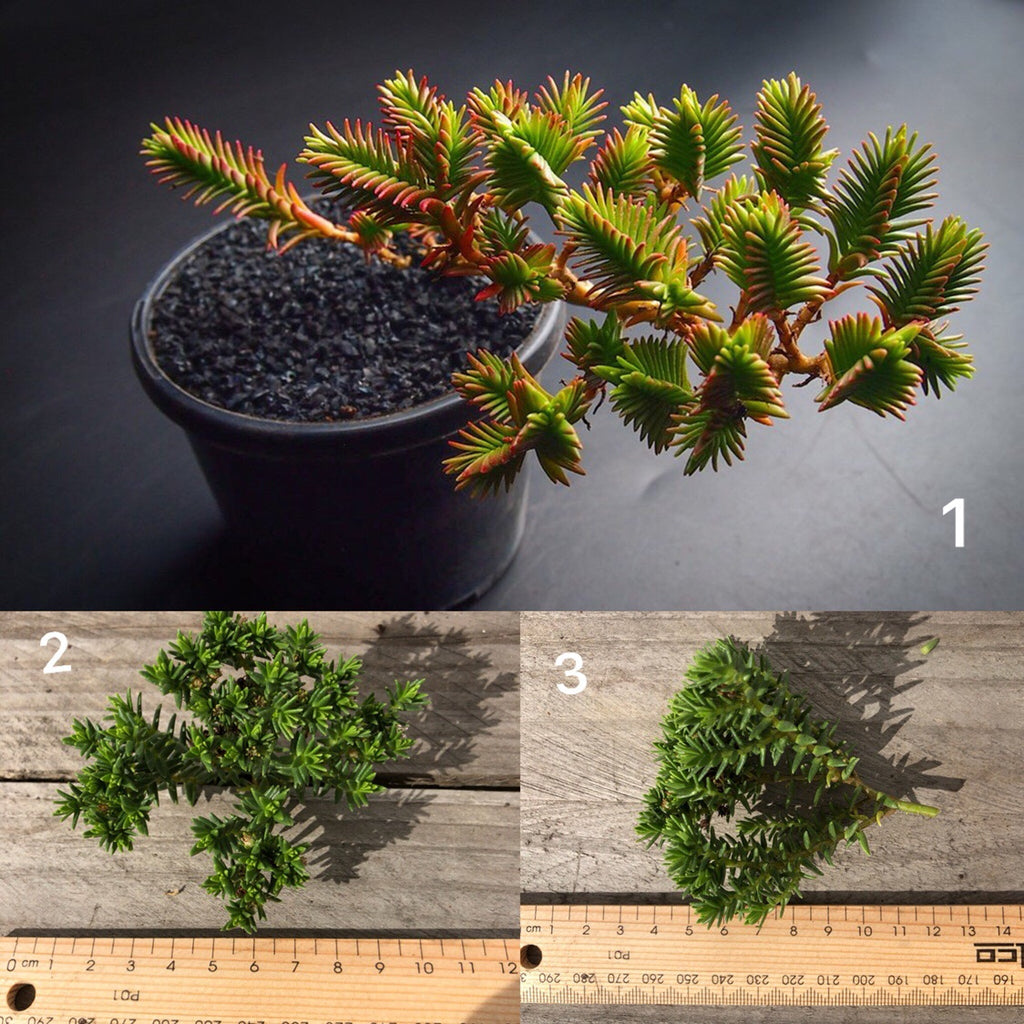 Crassula Ericoides (CUTTING)