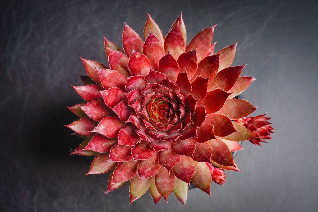 Sempervivum 'Berwick Red' (P/C)