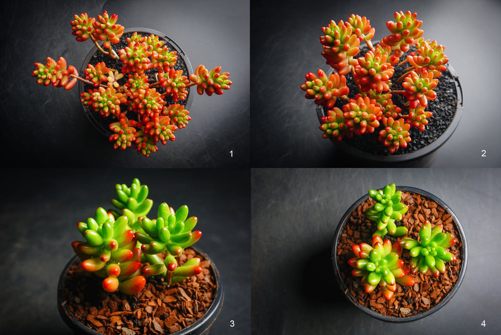 Sedum Rubrotinctum ( Red jelly bean )(1 x CUTTING)