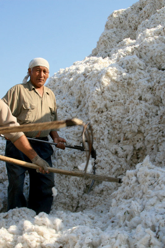 Bio-Baumwolle wird geerntet - organic cotton is harvested