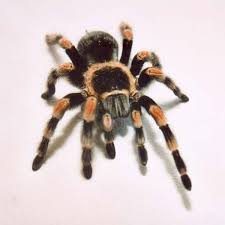 10 Facts About Tarantulas