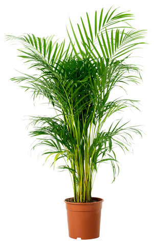 Plants that purify the air - bamboo palm