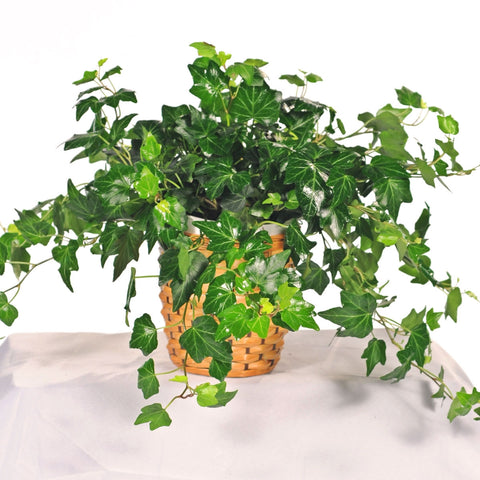 Plants that purify the air - english ivy