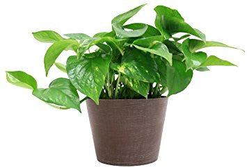 Plants that purify the air - golden pothos