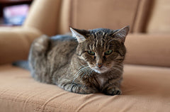cat stitting on sofa