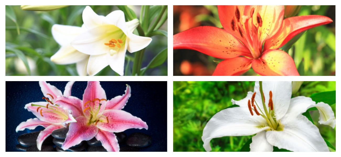 images of the lily flower