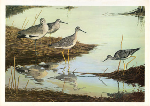 1967 Birds Shorebirds Art Print Willet, Greater Yellowlegs, Lesser Yellowlegs
