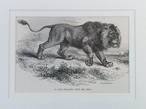 Antique Matted Wall Print  Wall Hanging LION Print Wildlife 1888 Print - Paperink Graphics