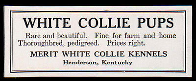 White Collie Pups 1927 AD Rare Beautiful Merit White Collie Kennels Kentucky