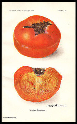Antique Botany Print 1910 Tamopan Persimmon Lithograph A.A. Newton - Paperink Graphics