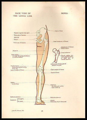 Anatomy Illustration Leg Lower Limb Back View 1924 Mixed Media Art Supply