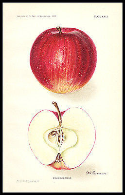 Delicious Apple Fruit Print 1907 Lithograph Artist D.G. Passmore Botanical Print - Paperink Graphics
