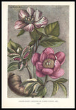 1938 Dunthorne Botanical Antique Print Peony Gautier Dagoty - Paperink Graphics