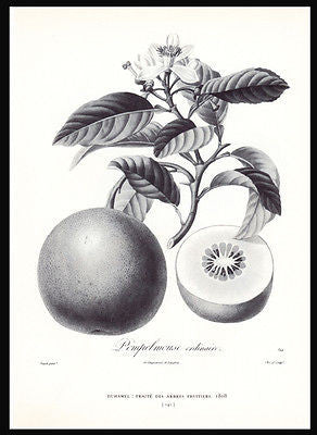 Grapefruit Pompelmouse Ordinaire Botanical Print Dunthorne - Paperink Graphics