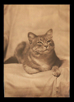 Cat Beautiful Portrait Photograph Sepia 5x7 Heavy Paper Kitty Cat Pet Animal - Paperink Graphics