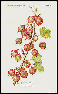1909 Botanical Print Carrie Gooseberry Lithograph Artist A.A. Newton - Paperink Graphics