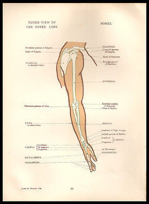 Vintage Anatomy Print Arm Upper Limb Outer View Antique Anatomy