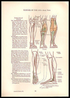 Antique Anatomy Illustration Diagrams Mixed Media Art Supply 1924 Leg Muscles Back View